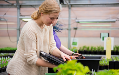 Pushing out plugs from their container, senior Grace Miller prepares to plant in the greenhouse on March 3.